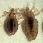 pittendrigh-lice.jpg