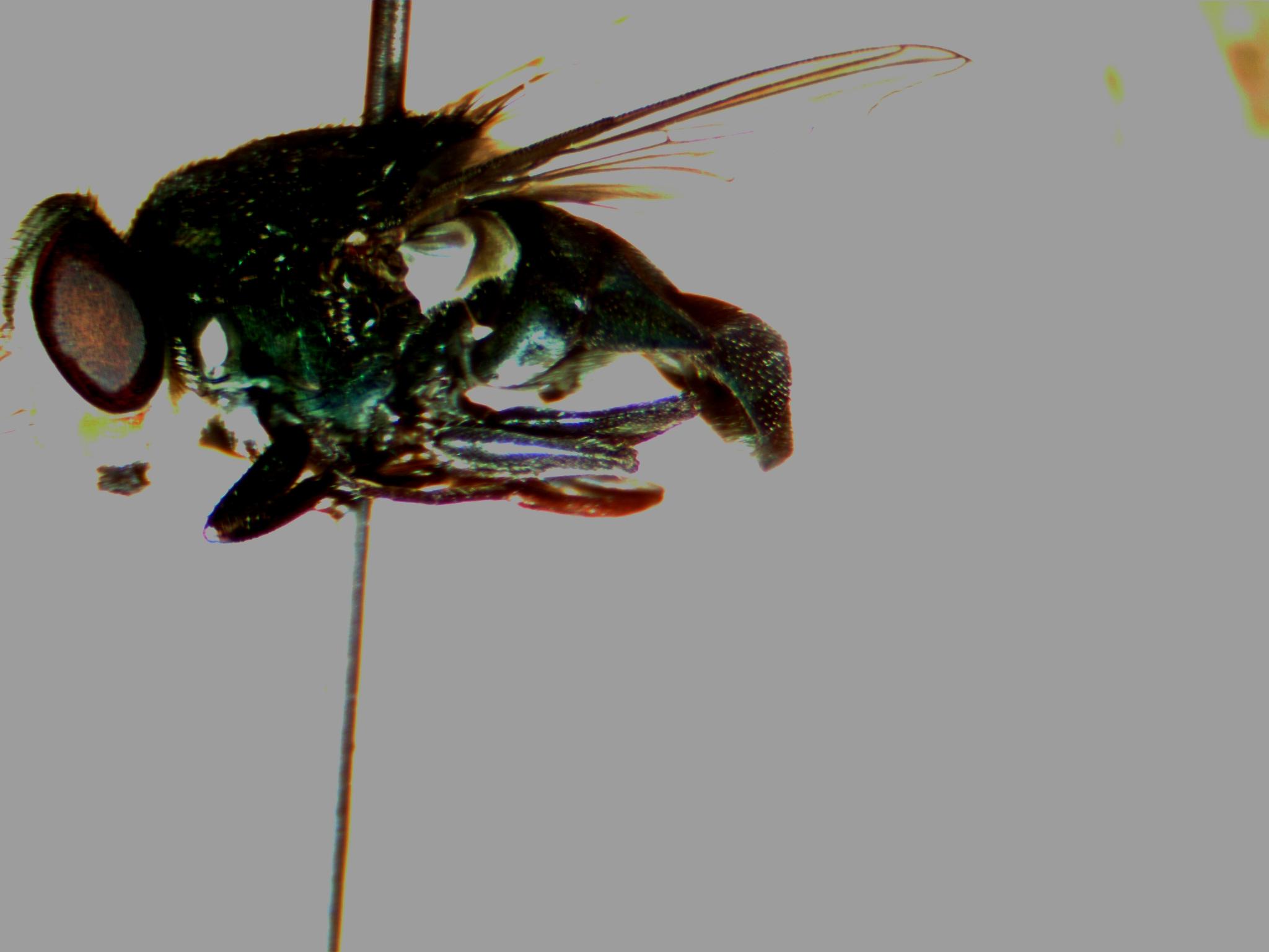 c-macillaria-abdomen-color.jpg