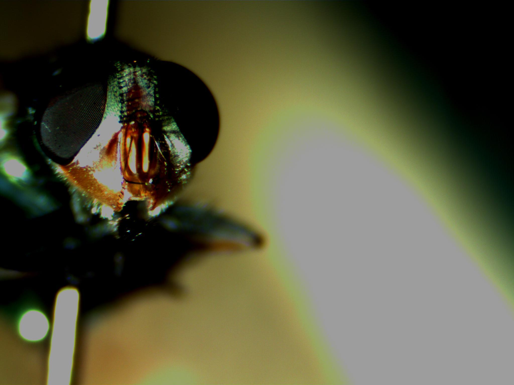 c-macillaria-greater-parafacial.jpg