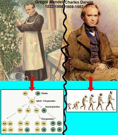 mendel vs darwin Darwin's ideas did not develop in a vacuum contributors to darwin's thinking  included: charles lyell – uniformitarianism  mendel vs darwin • clash for first .